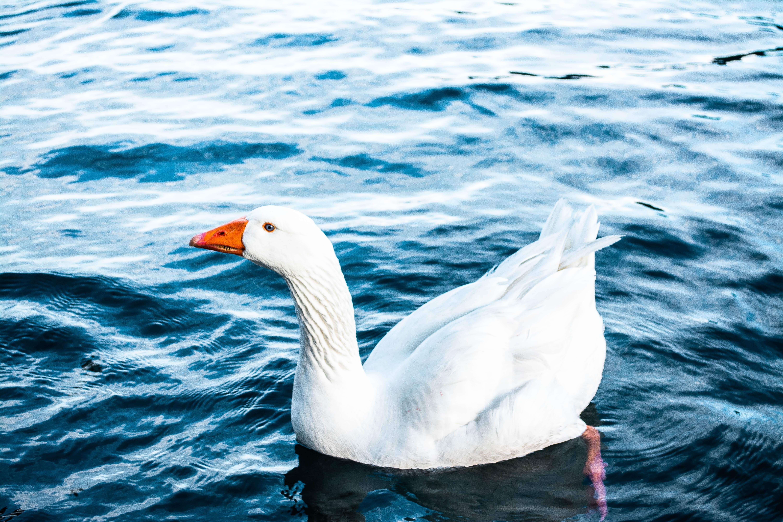 A Szent Márton-napi Libalakoma alkalmával a libával különböző formákban találkozhatsz. Akár még élőben is.